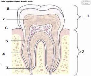 Puzle Dente humano