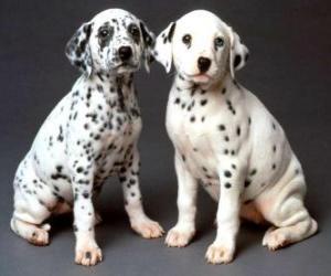 Puzle Dois cachorros dalmatian