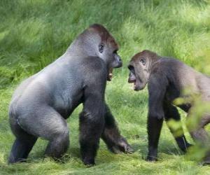 Puzle Dois gorilas jovens andando de quatro patas