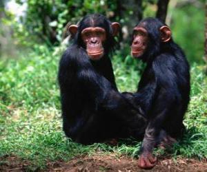 Puzle Dois macacos sentados no chão