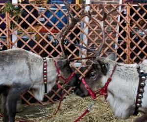 Puzle Dois rena de Natal