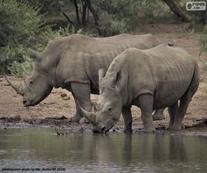Puzle Dois rinocerontes brancos grandes
