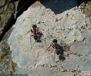Puzle Duas formigas