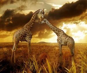 Puzle Duas girafas ao entardecer