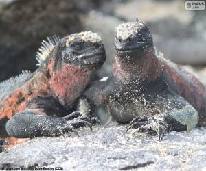 Puzle Duas iguanas marinhas