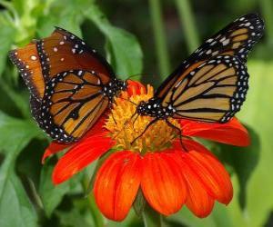 Puzle duas lindas borboletas cara a cara