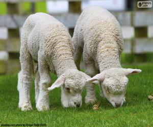 Puzle Duas ovelhas macias