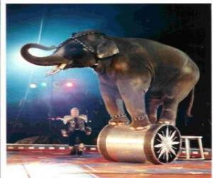 Puzle Elefante treinado agindo em um circo andando sobre um cilindro