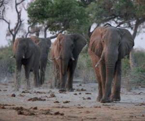 Puzle Elefantes africanos