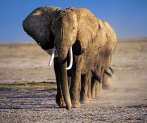 Puzle Elefantes andando na linha