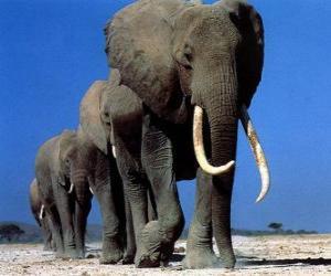 Puzle Elefantes caminhando