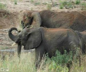 Puzle Elefantes comendo ervas