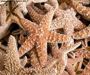 Puzle Estrelas do mar