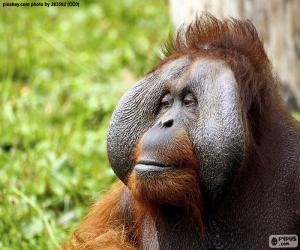 Puzle Face de um orangotango masculino