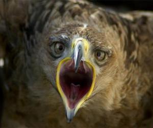 Puzle Falcon com a boca aberta