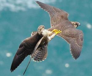 Puzle Falcons luta