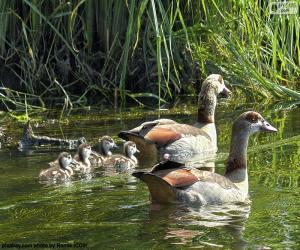 Puzle Família de gansos-do-nilo