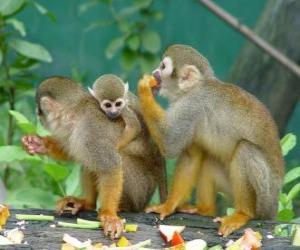 Puzle Família de macacos-esquilo