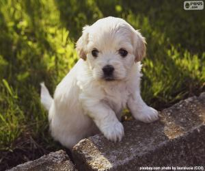 Puzle Filhote de cachorro Shih-poo