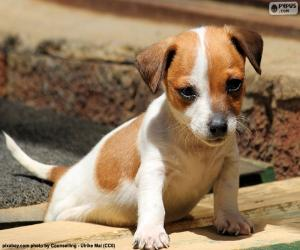 Puzle Filhote de Jack Russell Terrier