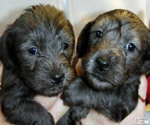 Puzle Filhote Terrier checo