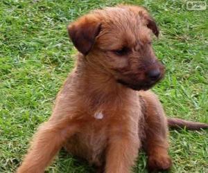 Puzle Filhote Terrier irlandês