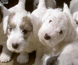 Puzle Filhotes de Sealyham Terrier