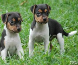 Puzle Filhotes de Terrier brasileiro