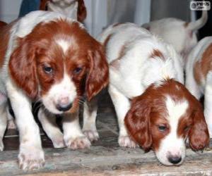Puzle Filhotes Setter irlandês ruivo e branco