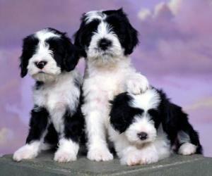 Puzle Filhotes Terrier tibetano