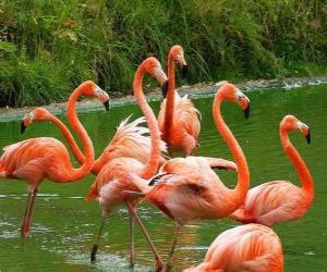 Puzle Flamingos na água, grandes aves aquáticas com plumagem cor de rosa