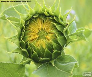 Puzle Flor, abrindo ao sol