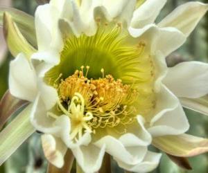 Puzle Flor de cacto, A flor do cacto