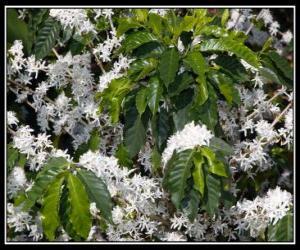 Puzle Flor de Café