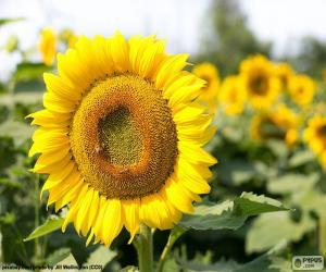 Puzle Flor de girassol