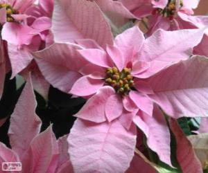 Puzle Flor do Natal, rosa