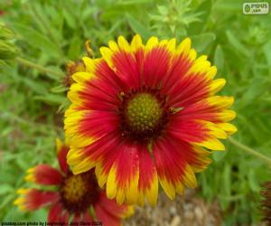 Puzle Flor Gaillardia pulchella