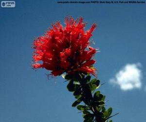 Puzle Flor vermelha de Ocotillo
