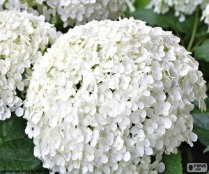 Puzle Flores branca de hortênsia