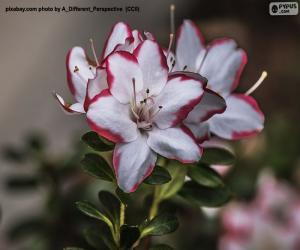 Puzle Flores brancas e vermelhas de azaleia