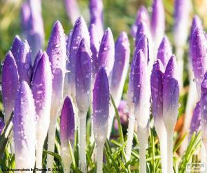 Puzle Flores de açafrão