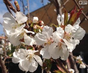 Puzle Flores de amendoeira
