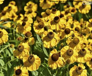 Puzle Flores de Echinacea
