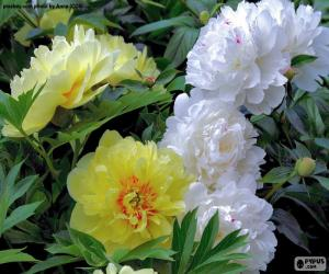 Puzle Flores de peónia