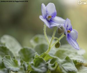 Puzle Flores violetas africanas
