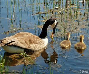 Puzle Ganso-do-canadá do lago