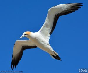 Puzle Ganso-patola, voando