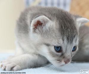 Puzle Gato cinza de olhos azuis