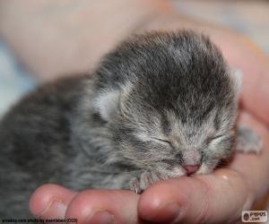 Puzle Gato recém-nascido
