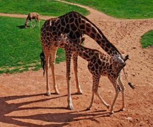 Puzle Girafa adulta e girafa bebê